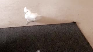 Cockatoo plays with overly excited puppy