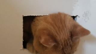 Cat Caught by Contractor's Handy Work
