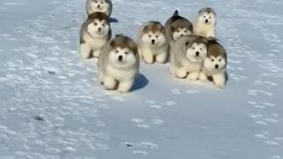 Cute huskys running race