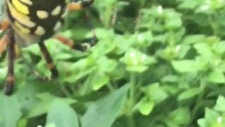 Boris the yellow garden spider
