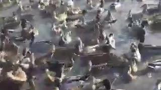 Дикие утки.