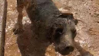 Black Lab Gets Messy in Mud Bath