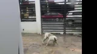 Ninja Dog in The House