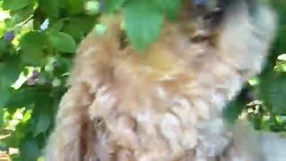 Dog eating blueberries