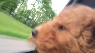 Puppy's first car ride results in adorably cute scenario