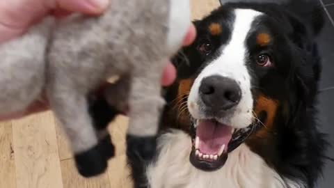 Bernese Mountain Dog jumps to catch his favorite toy