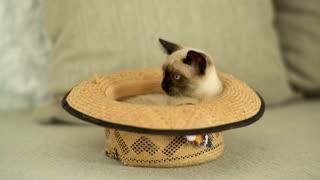 Siamese cat inside a hat