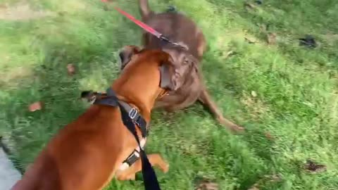 A pair of boxer dogs playing with each other in a beautiful way