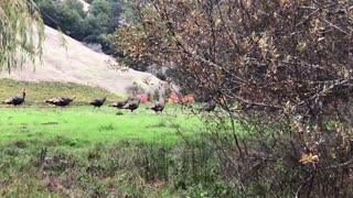 Turkeys Team Up Against Bobcat