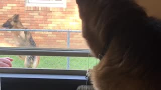 German Shepherd sees best friend
