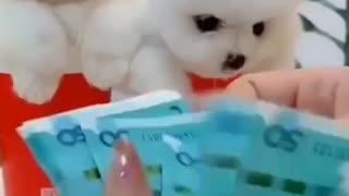 Cute pomeranian puppies 😍😍