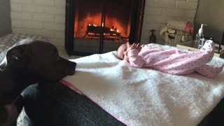 Sweet pit bull nanny checks up on newborn baby