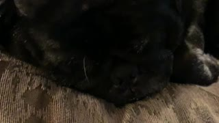 Charcoal the pug Snoring