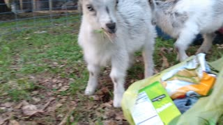 Snack time baby goats