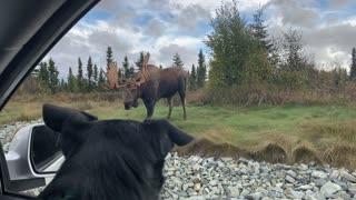 Big Bull Moose Strolls Through Anchorage Roundabout
