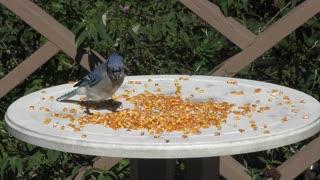 Blue Jay eating corn seeds
