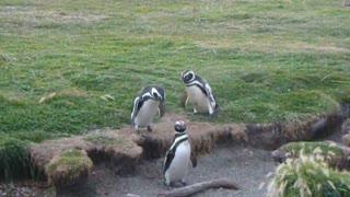 Funny Penguin Fall