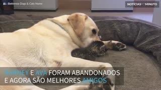 Labrador e gatinho abandonados formam uma linda amizade