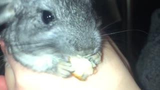 Baby chinchilla having a snack