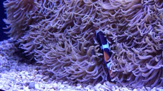Clownfish cleaning themselves