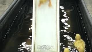 Ducklings Send It Down the Slide