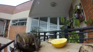 Close Up Footage of a Bat Eating Fruit