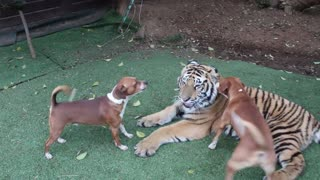 TIGER PLAY WITH DOGS