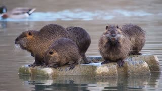 The otter family is relaxing after a nice swim in the river