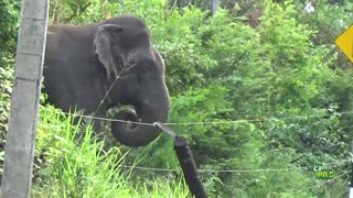Wild elephant breaks electric fence and cross road.