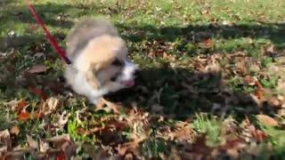 Cutie Corgi Puppy Running