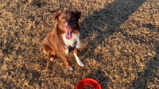 Dog Playing Fetch with Frisbee
