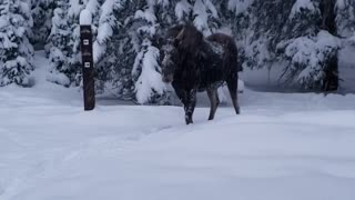 Morning Meeting With a Moose