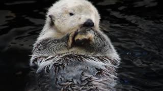 Close-up Otter Swimming
