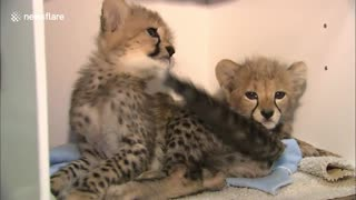 Cheetah cubs rejected by their mother are being hand-reared by San Diego zookeepers