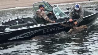 Moose Swimming in Circles Saved by Good Samaritans