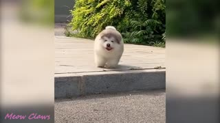 Baby Alaskan Malamute Cutest and Funniest Moments New😍😍😍