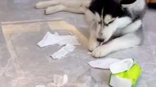Husky Having Best Time With His Kitten Friend