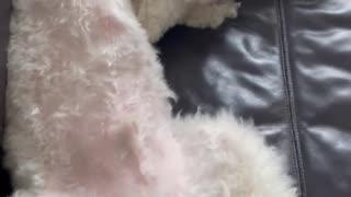sleeping dog, cute funny dog