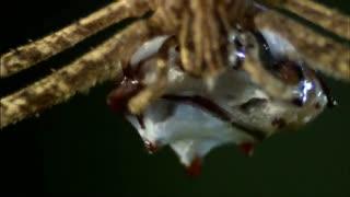 Monster Bug Wars: Ogre Faced Spider Strike