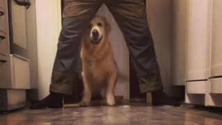 Golden Retriever practices newly learned trick