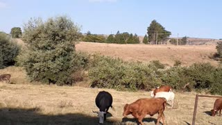 Cows of South Africa