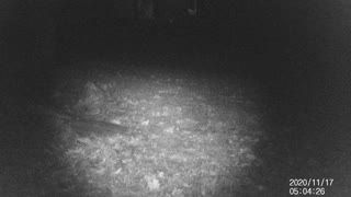 Coyotes in the side yard