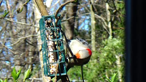 Red-Bellied Woodpecker is very hungry