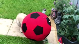 Frenchie plays football