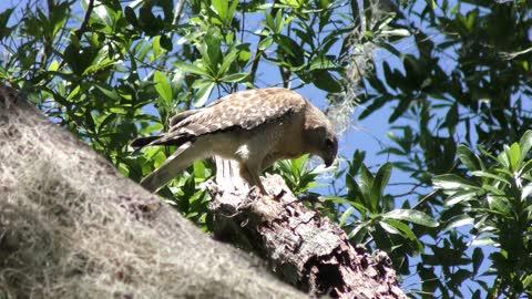 Red-Shouldered Hawk feeds on bird remains