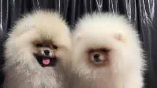 Pomeranian spitz nain