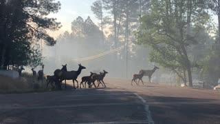 Arizona Elk Herd Flees from Fire