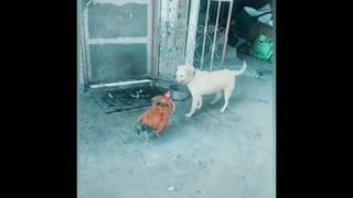 Funny dog fighting with chicken
