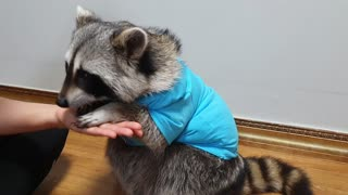 Raccoon wears a baby shark character T-shirt and shows various talents.
