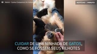 Golden Retriever sofre 'ataque' de gatinhos